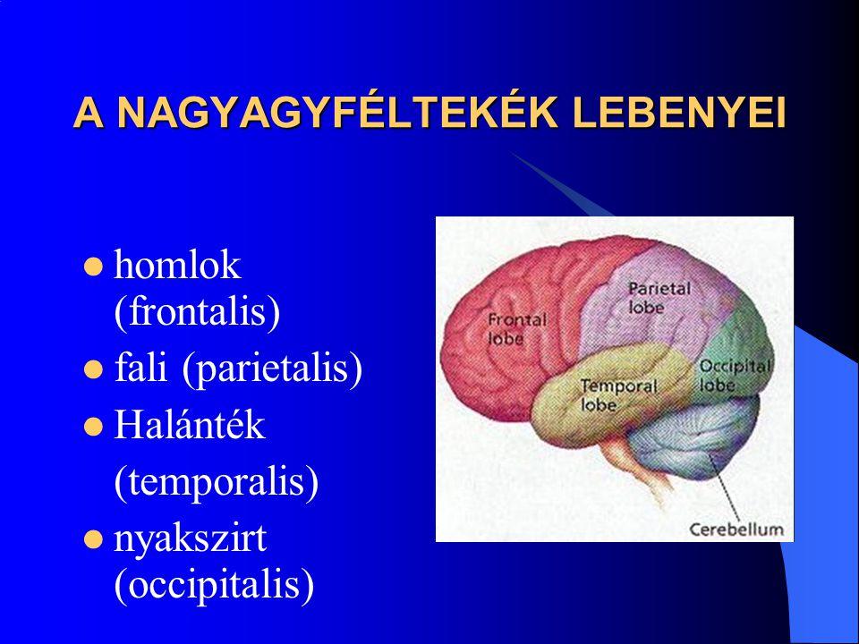 A NAGYAGYFÉLTEKÉK LEBENYEI homlok (frontalis) fali (parietalis) Halánték (temporalis) nyakszirt (occipitalis)