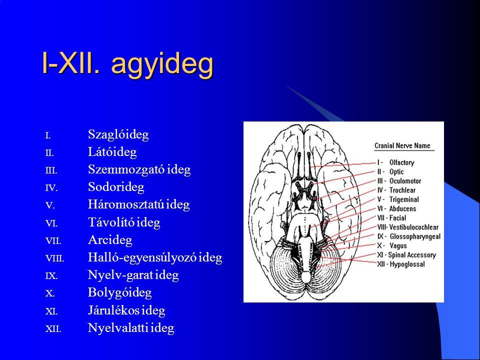 I-XII. agyideg I. Szaglóideg II. Látóideg III. Szemmozgató ideg IV. Sodorideg V. Háromosztatú ideg VI. Távolító ideg VII. Arcideg VIII. Halló-egyensúl