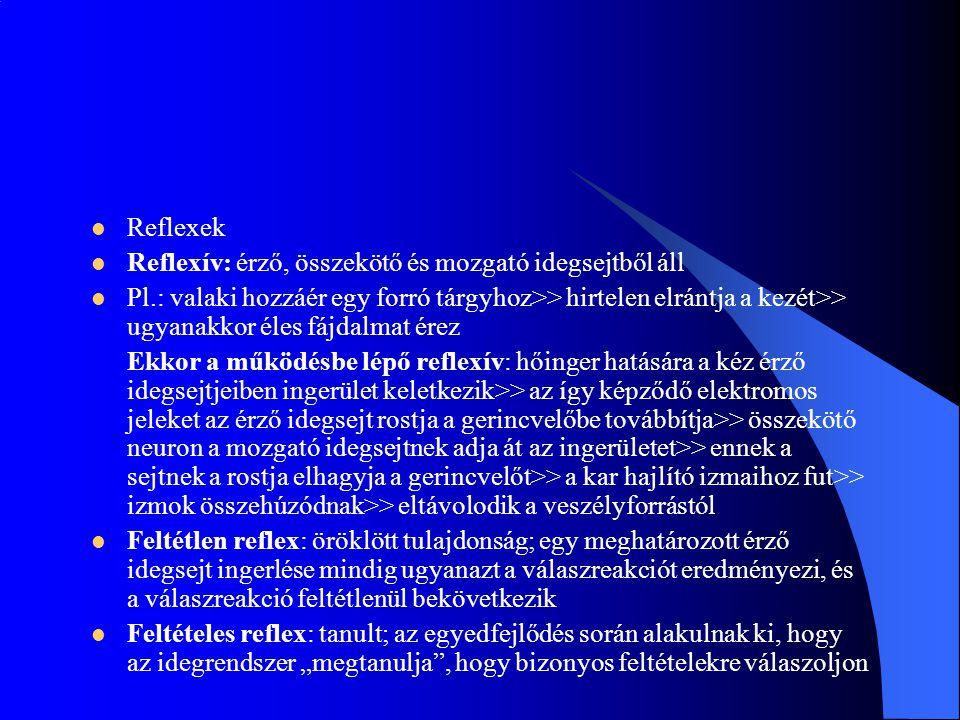 Reflexek Reflexív: érző, összekötő és mozgató idegsejtből áll Pl.: valaki hozzáér egy forró tárgyhoz>> hirtelen elrántja a kezét>> ugyanakkor éles fáj