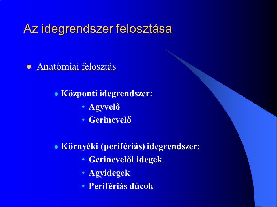 Az idegrendszer felosztása Anatómiai felosztás Központi idegrendszer: Agyvelő Gerincvelő Környéki (perifériás) idegrendszer: Gerincvelői idegek Agyide