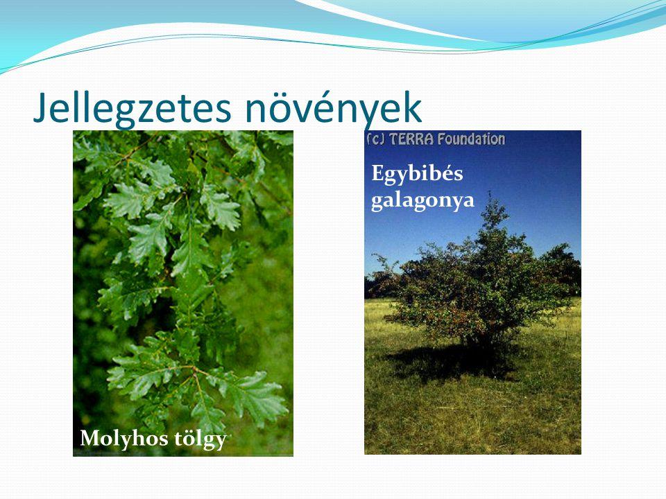 Jellegzetes növények Molyhos tölgy Egybibés galagonya