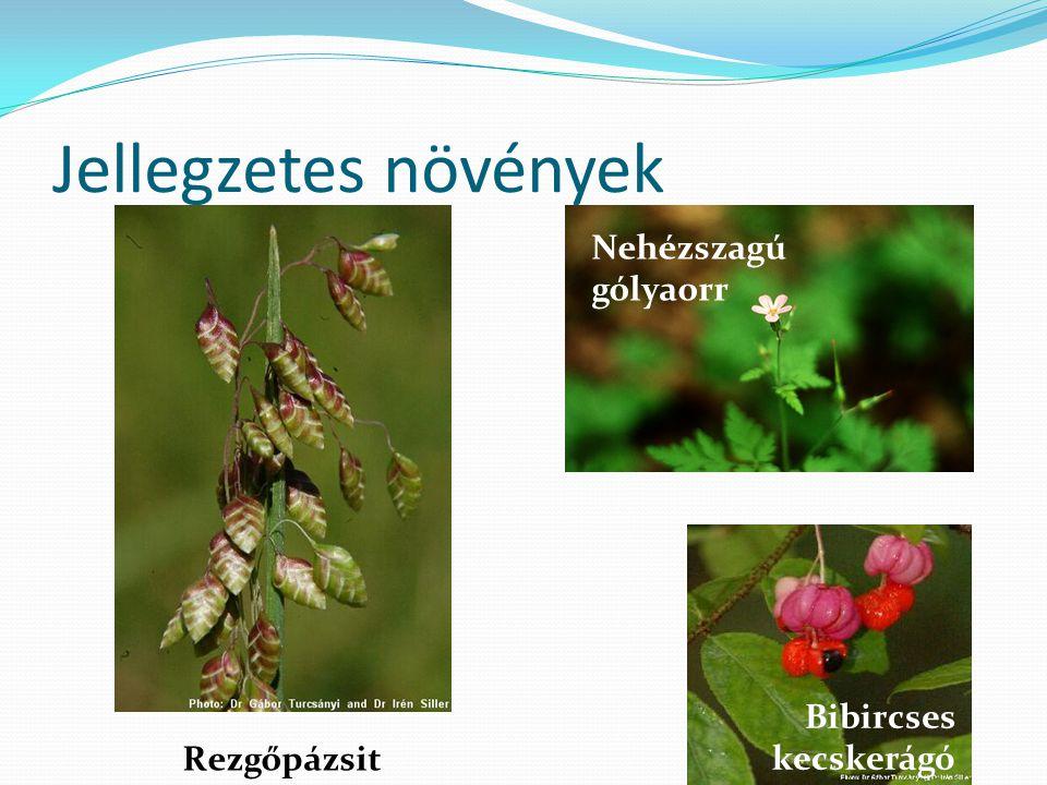 Jellegzetes növények Rezgőpázsit Nehézszagú gólyaorr Bibircses kecskerágó