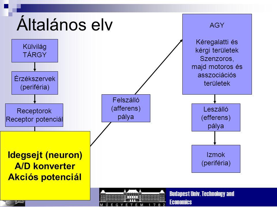 Dept. Cognitive Sciences Budapest Univ. Technology and Economics Általános elv Külvilág TÁRGY Érzékszervek (periféria) Receptorok Receptor potenciál I