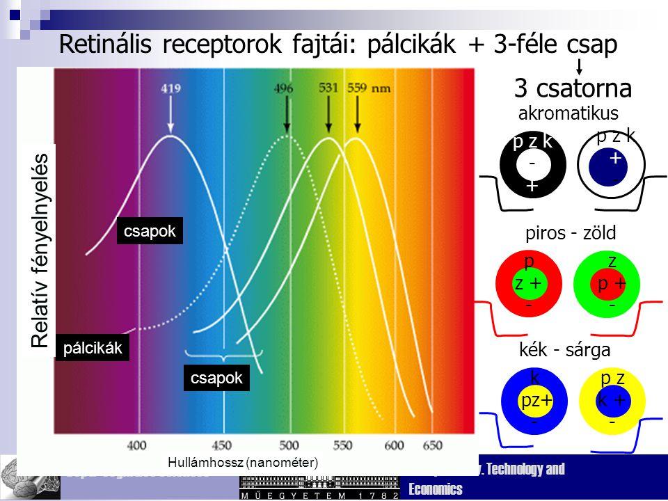 Dept. Cognitive Sciences Budapest Univ. Technology and Economics Retinális receptorok fajtái: pálcikák + 3-féle csap csapok pálcikák csapok Relatív fé