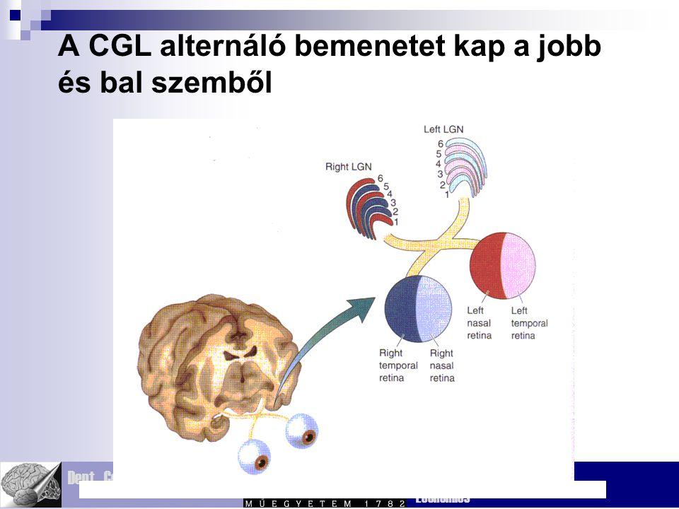 Dept. Cognitive Sciences Budapest Univ. Technology and Economics A CGL alternáló bemenetet kap a jobb és bal szemből