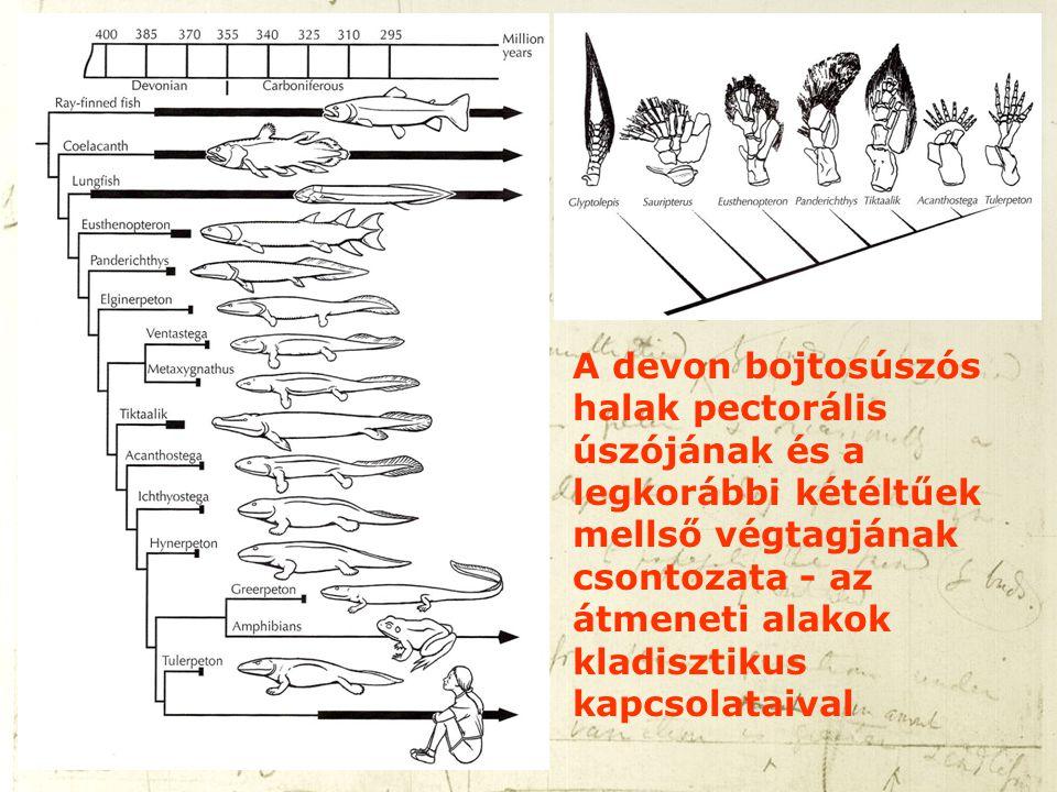 A devon bojtosúszós halak pectorális úszójának és a legkorábbi kétéltűek mellső végtagjának csontozata - az átmeneti alakok kladisztikus kapcsolataiva
