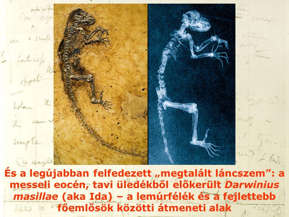"""És a legújabban felfedezett """"megtalált láncszem"""": a messeli eocén, tavi üledékből előkerült Darwinius masillae (aka Ida) – a lemúrfélék és a fejletteb"""