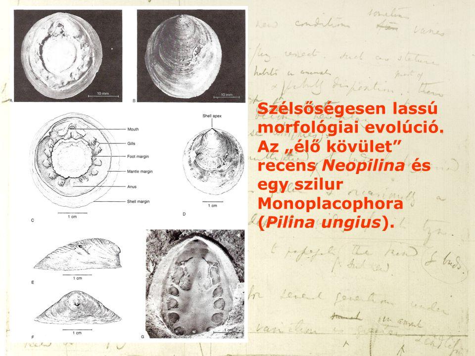 """Szélsőségesen lassú morfológiai evolúció. Az """"élő kövület"""" recens Neopilina és egy szilur Monoplacophora (Pilina ungius)."""