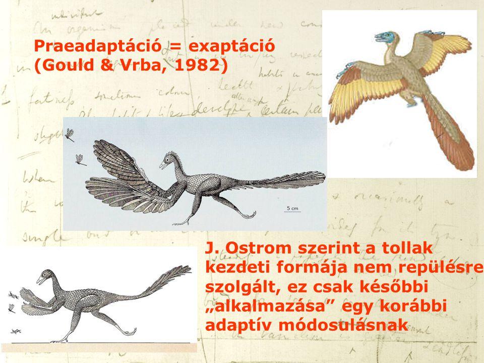"""Praeadaptáció = exaptáció (Gould & Vrba, 1982) J. Ostrom szerint a tollak kezdeti formája nem repülésre szolgált, ez csak későbbi """"alkalmazása"""" egy ko"""