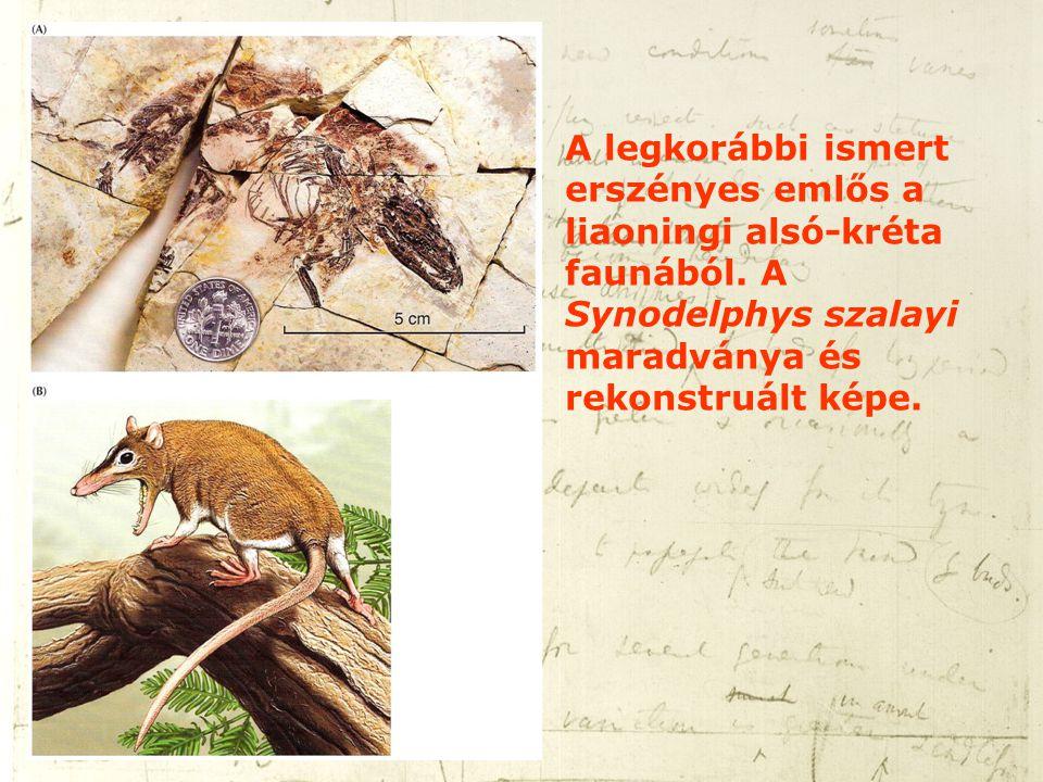 A legkorábbi ismert erszényes emlős a liaoningi alsó-kréta faunából. A Synodelphys szalayi maradványa és rekonstruált képe.