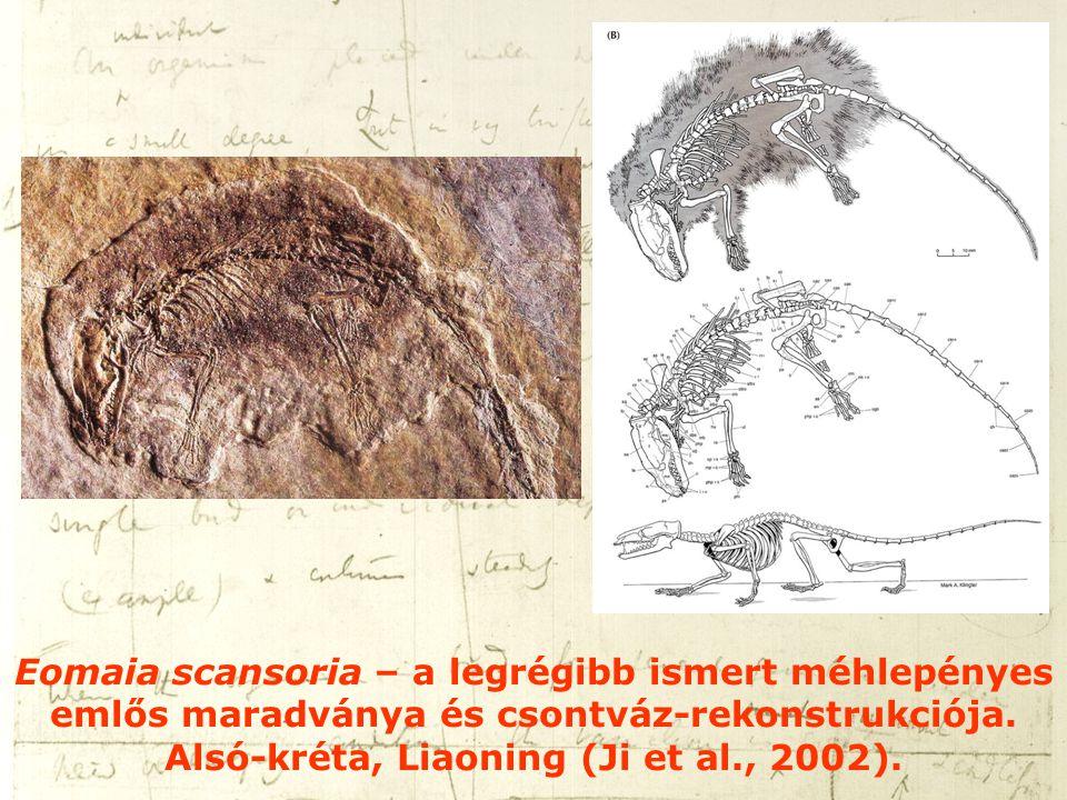 Eomaia scansoria – a legrégibb ismert méhlepényes emlős maradványa és csontváz-rekonstrukciója. Alsó-kréta, Liaoning (Ji et al., 2002).