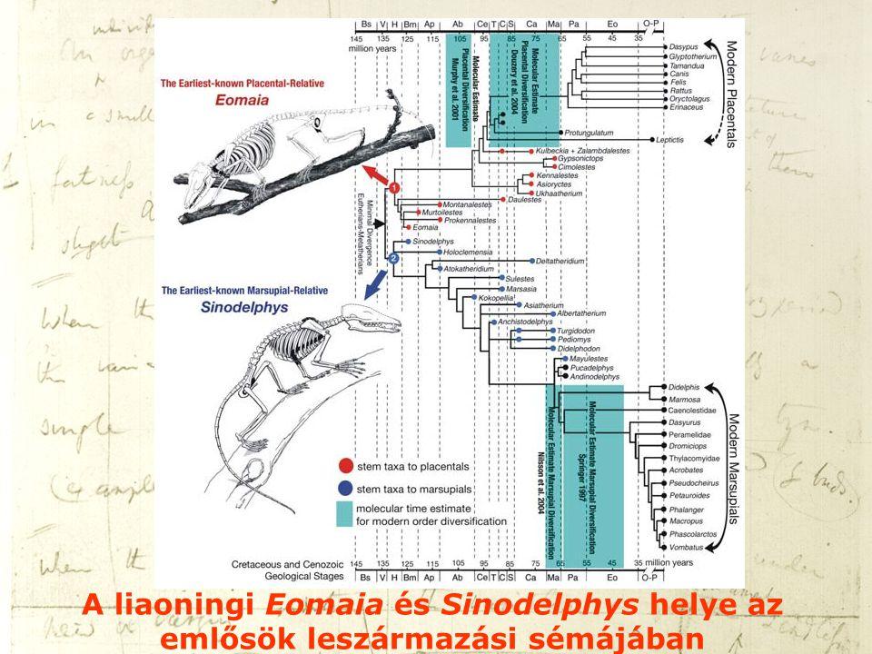 A liaoningi Eomaia és Sinodelphys helye az emlősök leszármazási sémájában
