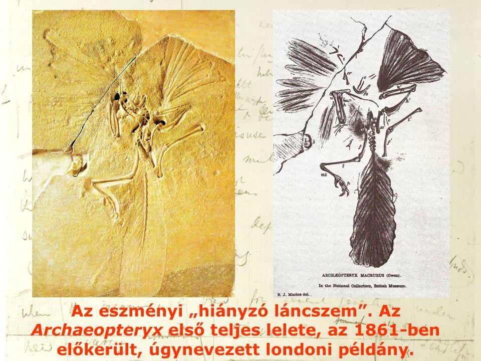 """Az eszményi """"hiányzó láncszem"""". Az Archaeopteryx első teljes lelete, az 1861-ben előkerült, úgynevezett londoni példány."""
