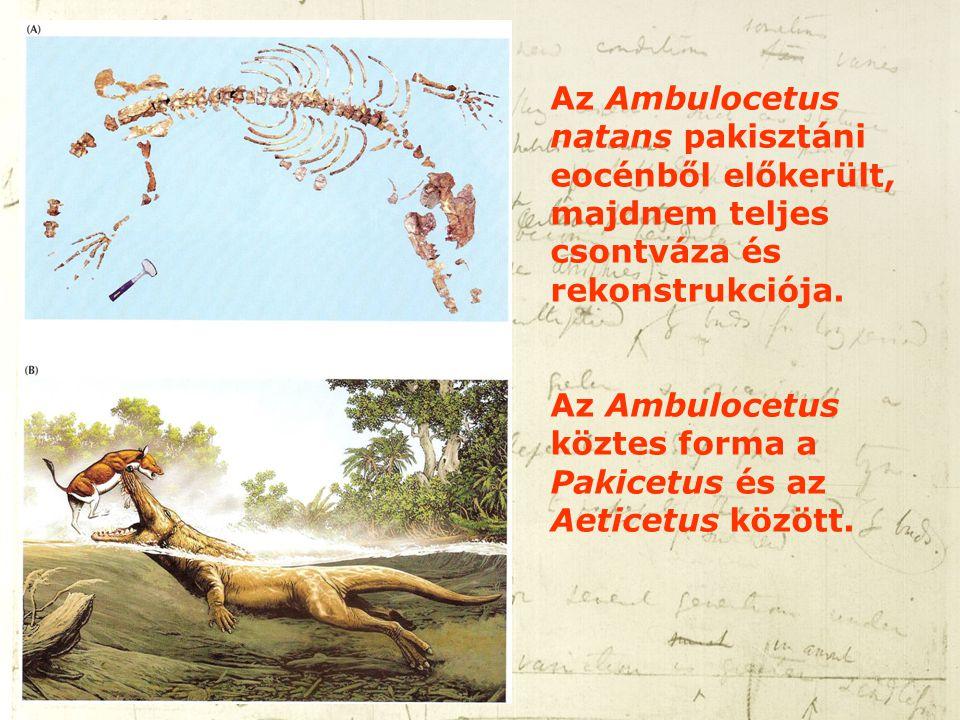 Az Ambulocetus natans pakisztáni eocénből előkerült, majdnem teljes csontváza és rekonstrukciója. Az Ambulocetus köztes forma a Pakicetus és az Aetice