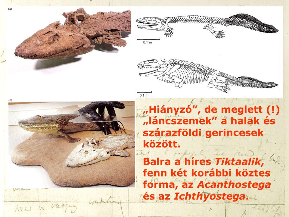 """""""Hiányzó"""", de meglett (!) """"láncszemek"""" a halak és szárazföldi gerincesek között. Balra a híres Tiktaalik, fenn két korábbi köztes forma, az Acanthoste"""