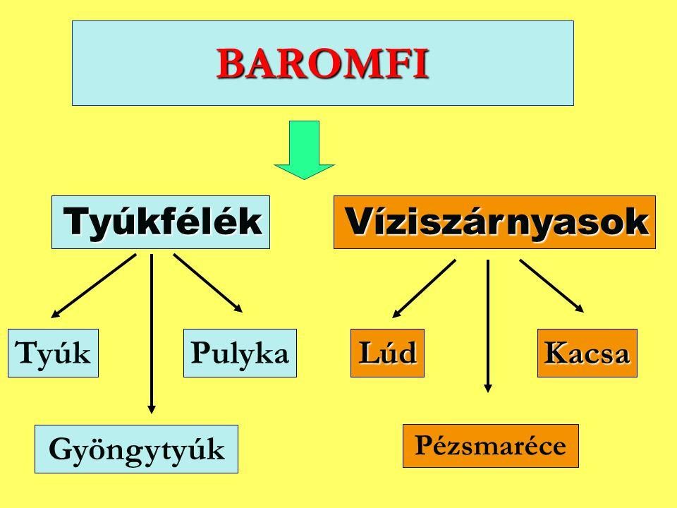 BAROMFI Tyúkfélék TyúkPulykaKacsaLúd Gyöngytyúk Víziszárnyasok Pézsmaréce