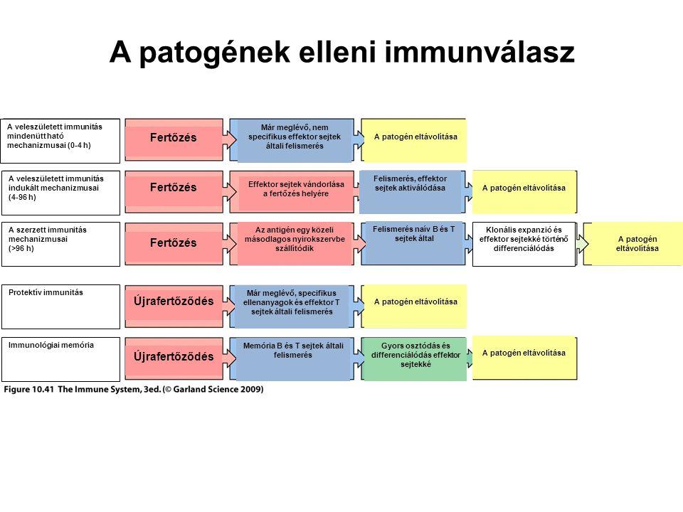 A veleszületett immunitás mindenütt ható mechanizmusai (0-4 h) A veleszületett immunitás indukált mechanizmusai (4-96 h) A szerzett immunitás mechanizmusai (>96 h) Protektív immunitás Immunológiai memória Fertőzés Újrafertőződés Effektor sejtek vándorlása a fertőzés helyére Az antigén egy közeli másodlagos nyirokszervbe szállítódik Már meglévő, nem specifikus effektor sejtek általi felismerés Már meglévő, specifikus ellenanyagok és effektor T sejtek általi felismerés Memória B és T sejtek általi felismerés Felismerés, effektor sejtek aktiválódása Felismerés naív B és T sejtek által Gyors osztódás és differenciálódás effektor sejtekké A patogén eltávolítása Klonális expanzió és effektor sejtekké történő differenciálódás A patogének elleni immunválasz