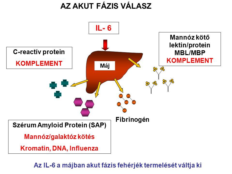 Máj C-reactív protein KOMPLEMENT Szérum Amyloid Protein (SAP) Mannóz/galaktóz kötés Kromatin, DNA, Influenza Fibrinogén Mannóz kötő lektin/protein MBL/MBP KOMPLEMENT IL- 6 AZ AKUT FÁZIS VÁLASZ Az IL-6 a májban akut fázis fehérjék termelését váltja ki