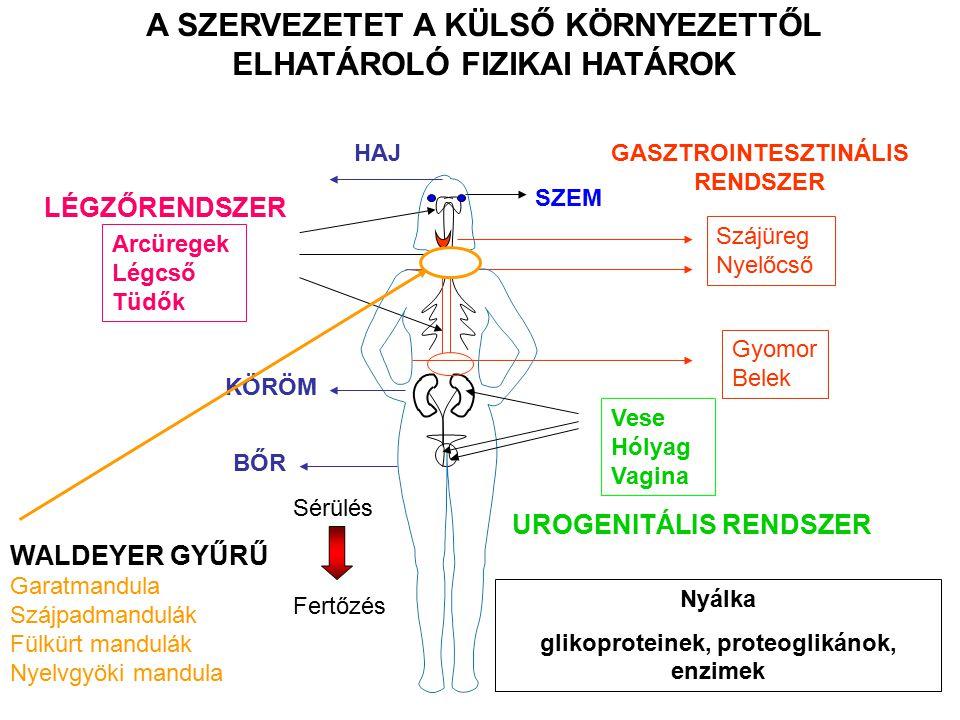 Arcüregek Légcső Tüdők LÉGZŐRENDSZER SZEM Szájüreg Nyelőcső Gyomor Belek GASZTROINTESZTINÁLIS RENDSZER HAJ BŐR KÖRÖM A SZERVEZETET A KÜLSŐ KÖRNYEZETTŐL ELHATÁROLÓ FIZIKAI HATÁROK Sérülés Fertőzés Nyálka glikoproteinek, proteoglikánok, enzimek Vese Hólyag Vagina UROGENITÁLIS RENDSZER WALDEYER GYŰRŰ Garatmandula Szájpadmandulák Fülkürt mandulák Nyelvgyöki mandula