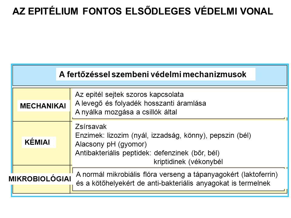 AZ EPITÉLIUM FONTOS ELSŐDLEGES VÉDELMI VONAL A fertőzéssel szembeni védelmi mechanizmusok MECHANIKAI KÉMIAI MIKROBIOLÓGIAI Az epitél sejtek szoros kapcsolata A levegő és folyadék hosszanti áramlása A nyálka mozgása a csillók által Zsírsavak Enzimek: lizozim (nyál, izzadság, könny), pepszin (bél) Alacsony pH (gyomor) Antibakteriális peptidek: defenzinek (bőr, bél) kriptidinek (vékonybél A normál mikrobiális flóra verseng a tápanyagokért (laktoferrin) és a kötőhelyekért de anti-bakteriális anyagokat is termelnek