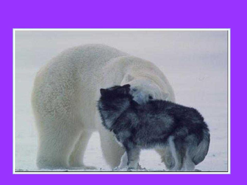 Cani incatenati nel Grande Nord, che facilmente potrebbero servire da pasto per… Láncolt kutyák az északi sarkon, amelyek könnyen ételül szolgálhatnak...