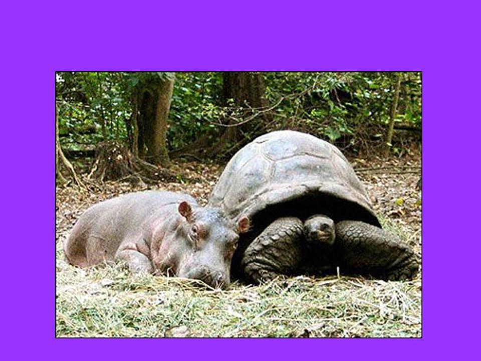 Un piccolo ippopotamo sopravvissuto ad uno tsunami in Kenia e che, solo al mondo, si è aggrappato ad una tartaruga di 100 anni scegliendola come sostituta della madre… Egy kis víziló túlélte a cunamit Kenyában és ami egyedül álló a világon, egy tekn ő st választotta az anya helyettesít ő jeként...