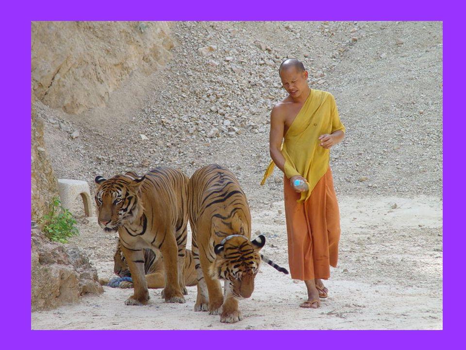 Nel tempio Buddista di Wat Pha Luang in Tailandia, le tigri orfane sono raccolte e curate dai monaci.