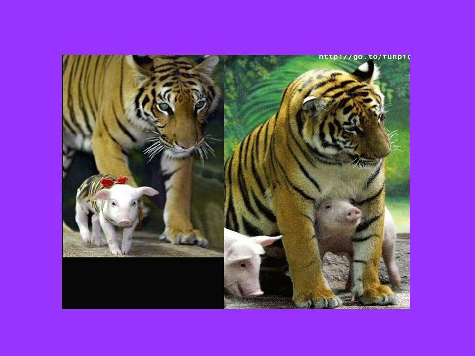Ez a tigris anya, aki elvesztette kölykeit, érzelmei megfordultak a malacok felé....