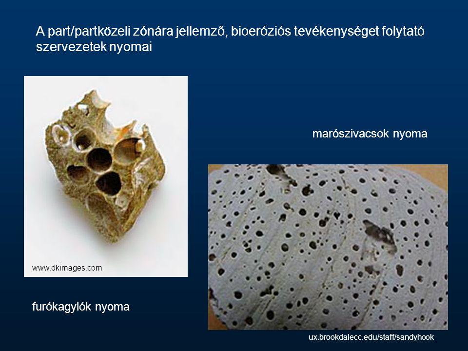 A part/partközeli zónára jellemző, bioeróziós tevékenységet folytató szervezetek nyomai furókagylók nyoma marószivacsok nyoma www.dkimages.com ux.brookdalecc.edu/staff/sandyhook