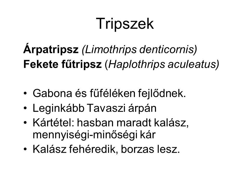 Tripszek Árpatripsz (Limothrips denticornis) Fekete fűtripsz (Haplothrips aculeatus) Gabona és fűféléken fejlődnek. Leginkább Tavaszi árpán Kártétel: