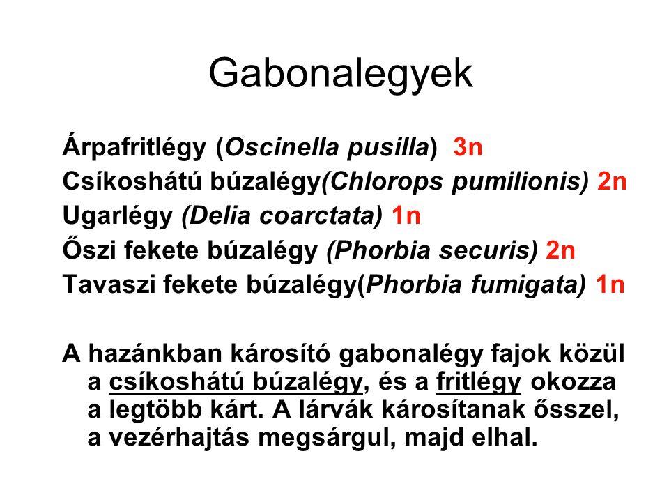 Gabonalegyek Árpafritlégy (Oscinella pusilla) 3n Csíkoshátú búzalégy(Chlorops pumilionis) 2n Ugarlégy (Delia coarctata) 1n Őszi fekete búzalégy (Phorbia securis) 2n Tavaszi fekete búzalégy(Phorbia fumigata) 1n A hazánkban károsító gabonalégy fajok közül a csíkoshátú búzalégy, és a fritlégy okozza a legtöbb kárt.