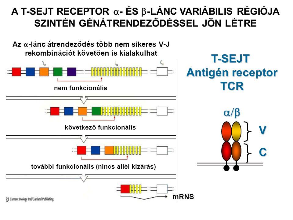 T-SEJT Antigén receptor TCR V C  A T-SEJT RECEPTOR  - ÉS  -LÁNC VARIÁBILIS RÉGIÓJA SZINTÉN GÉNÁTRENDEZŐDÉSSEL JÖN LÉTRE mRNS nem funkcionális Az  -lánc átrendeződés több nem sikeres V-J rekombinációt követően is kialakulhat következő funkcionális további funkcionális (nincs allél kizárás)