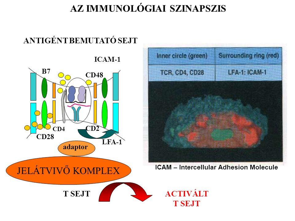 AZ IMMUNOLÓGIAI SZINAPSZIS T SEJT ANTIGÉNT BEMUTATÓ SEJT CD48 CD2 ICAM-1 LFA-1 B7 CD28 CD4 JELÁTVIVŐ KOMPLEX adaptor ACTIVÁLT T SEJT ICAM – Intercellular Adhesion Molecule