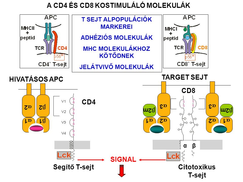 Segítő T-sejt CD4 A CD4 ÉS CD8 KOSTIMULÁLÓ MOLEKULÁK SIGNAL 22 11 22 11 HIVATÁSOS APC CD8 Citotoxikus T-sejt α β TARGET SEJT 11 33 22  2m 11 33 22 T SEJT ALPOPULÁCIÓK MARKEREI ADHÉZIÓS MOLEKULÁK MHC MOLEKULÁKHOZ KÖTŐDNEK JELÁTVIVŐ MOLEKULÁK