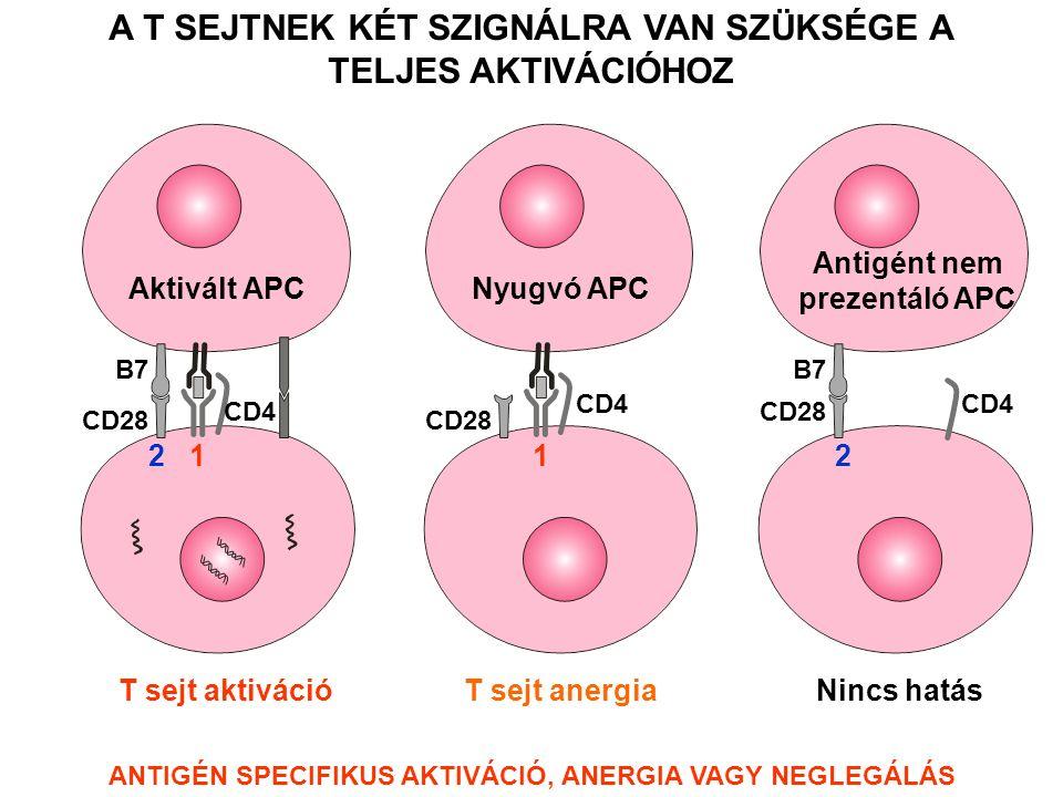 Aktivált APCNyugvó APC Antigént nem prezentáló APC T sejt aktivációT sejt anergiaNincs hatás CD4 CD28 CD4 B7 2 1 12 A T SEJTNEK KÉT SZIGNÁLRA VAN SZÜKSÉGE A TELJES AKTIVÁCIÓHOZ ANTIGÉN SPECIFIKUS AKTIVÁCIÓ, ANERGIA VAGY NEGLEGÁLÁS