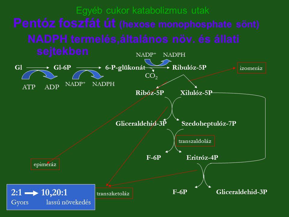 Egyéb cukor katabolizmus utak Pentóz foszfát út (hexose monophosphate sönt) NADPH termelés,általános növ. és állati sejtekben GlGl-6P 6-P-glükonát Rib