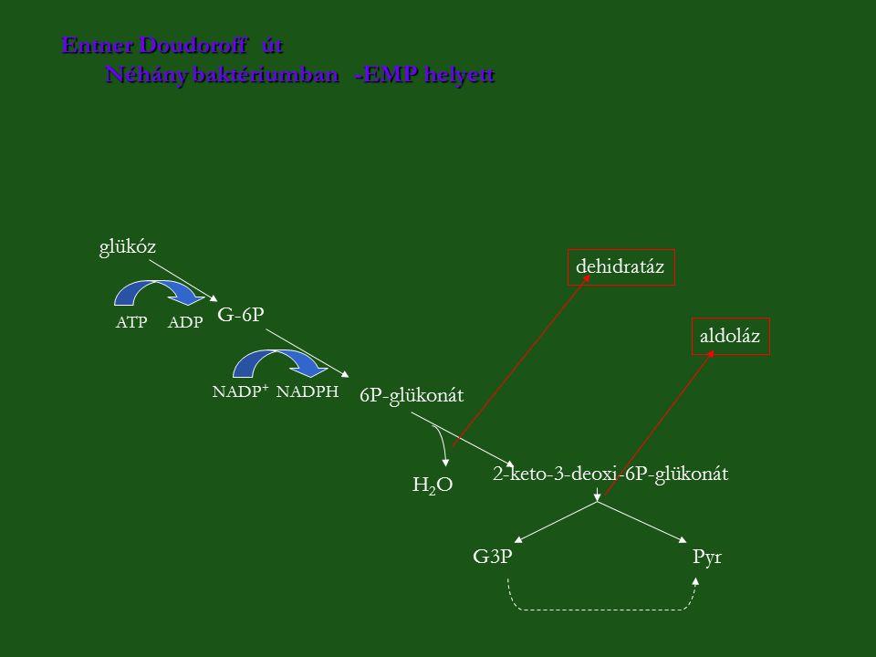 Entner Doudoroff út Néhány baktériumban -EMP helyett glükóz G-6P 6P-glükonát 2-keto-3-deoxi-6P-glükonát G3P Pyr ATP ADP NADP + NADPH H2OH2O aldoláz de