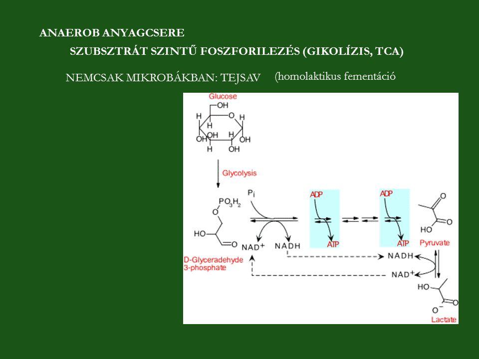 ANAEROB ANYAGCSERE SZUBSZTRÁT SZINTŰ FOSZFORILEZÉS (GIKOLÍZIS, TCA) NEMCSAK MIKROBÁKBAN: TEJSAV (homolaktikus fementáció