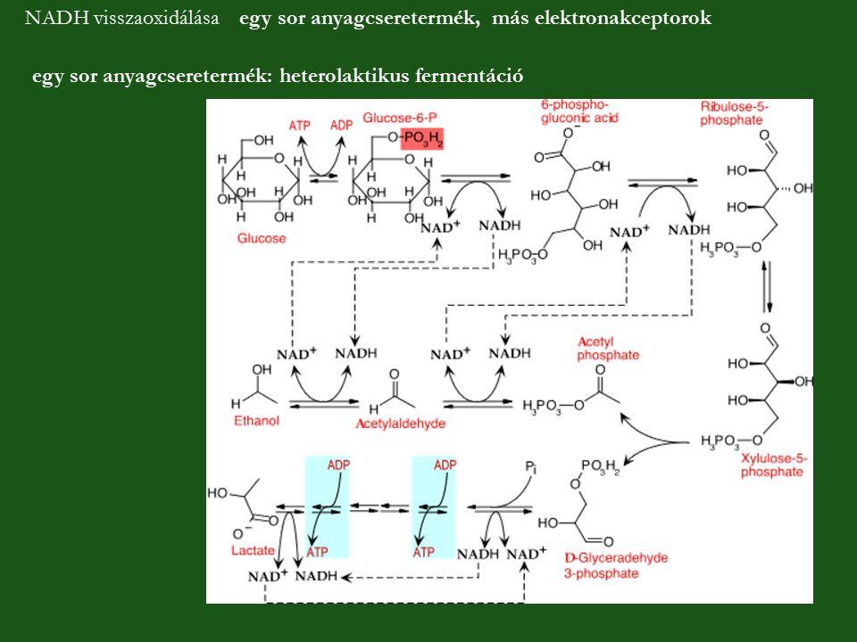NADH visszaoxidálása egy sor anyagcseretermék, más elektronakceptorok egy sor anyagcseretermék: heterolaktikus fermentáció