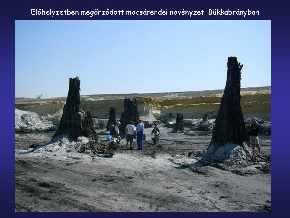 Élőhelyzetben megőrződött mocsárerdei növényzet Bükkábrányban