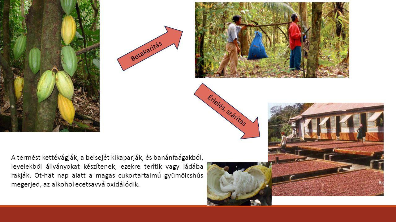 Betakarítás Érlelés, szárítás A termést kettévágják, a belsejét kikaparják, és banánfaágakból, levelekből állványokat készítenek, ezekre terítik vagy