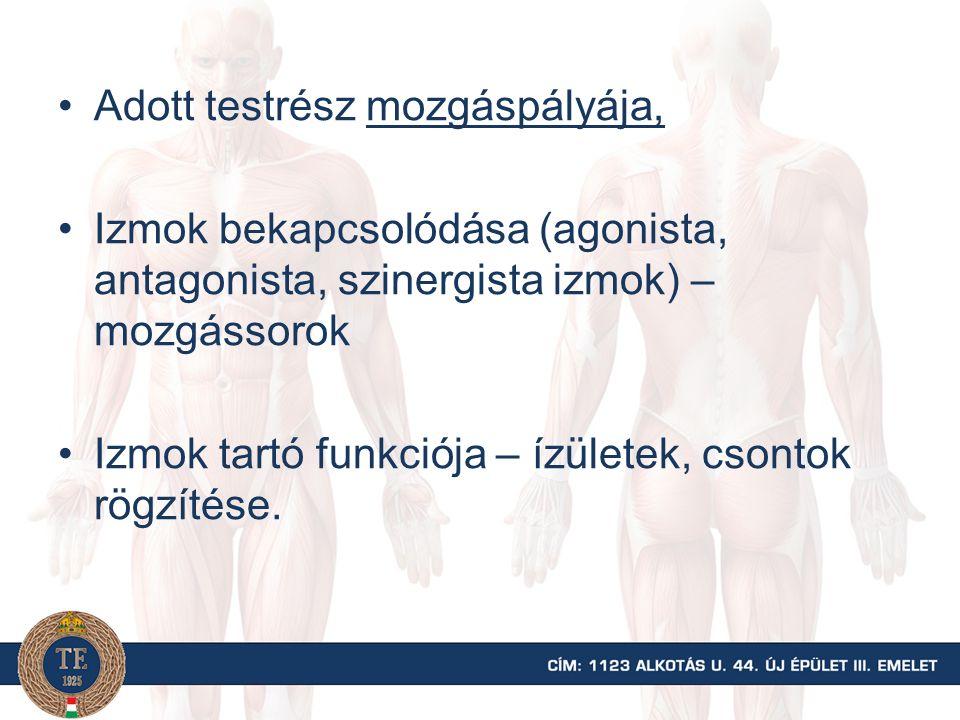 Adott testrész mozgáspályája, Izmok bekapcsolódása (agonista, antagonista, szinergista izmok) – mozgássorok Izmok tartó funkciója – ízületek, csontok