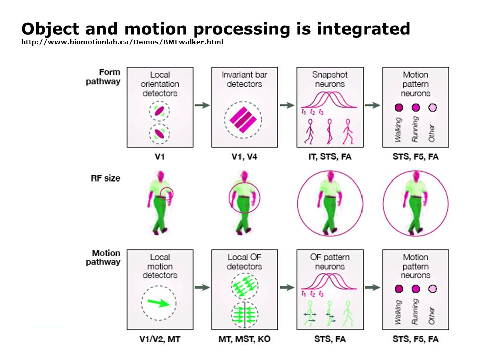Object and motion processing is integrated http://www.biomotionlab.ca/Demos/BMLwalker.html