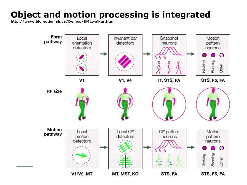 A figyelmi szelekció plaszticitása - fMRI MT+ IPC piros - tanulás során irreleváns zöld - tanulás során releváns Eredmények: A tanulás alatt irreleváns mozgásirány figyelmi szelekciója szignifikánsan nagyobb aktivitást eredményez a intra- parietális kéregben és az MT+ területen mint a tanulás során releváns mozgás irányé tanulást követően: romlik a figyelmi szelekciójának hatékonysága.