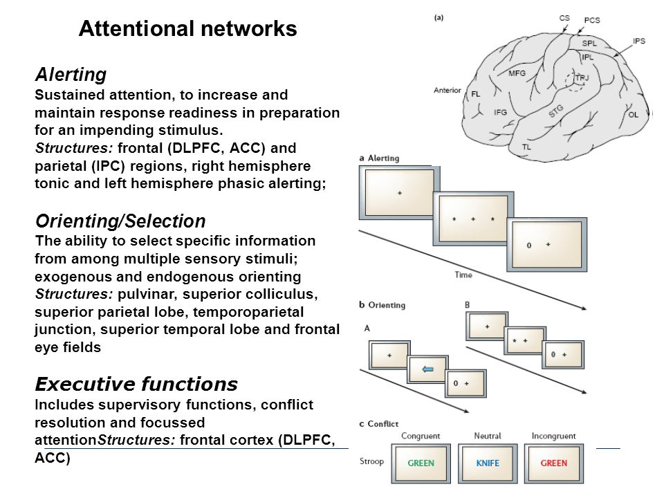 Attentional networks Alerting Sustained attention, to increase and maintain response readiness in preparation for an impending stimulus. Structures: f