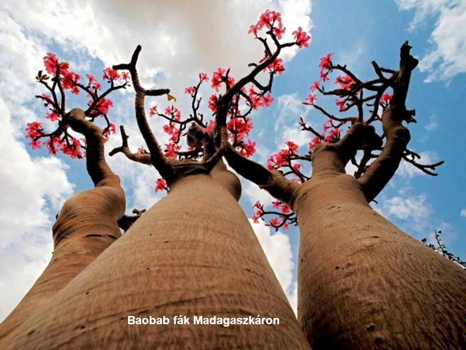Baobab fák Madagaszkáron