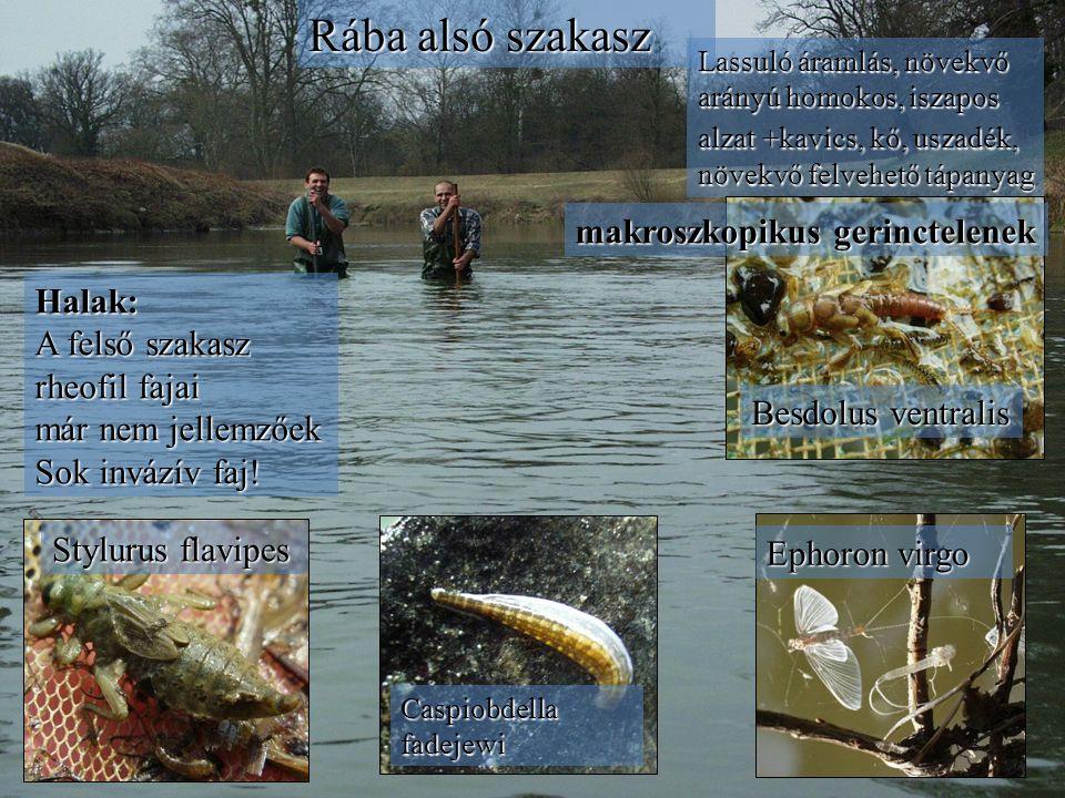 Rába alsó szakasz Stylurus flavipes Caspiobdella fadejewi Ephoron virgo Lassuló áramlás, növekvő arányú homokos, iszapos alzat+kavics, kő, uszadék, növekvő felvehető tápanyag Lassuló áramlás, növekvő arányú homokos, iszapos alzat +kavics, kő, uszadék, növekvő felvehető tápanyag Besdolus ventralis makroszkopikus gerinctelenek Halak: A felső szakasz rheofil fajai már nem jellemzőek Sok invázív faj!