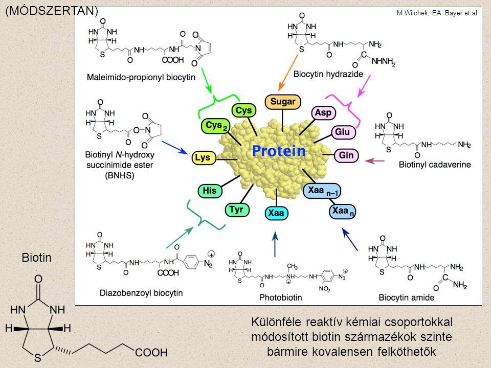 Biotin Különféle reaktív kémiai csoportokkal módosított biotin származékok szinte bármire kovalensen felköthetők M.Wilchek, EA.