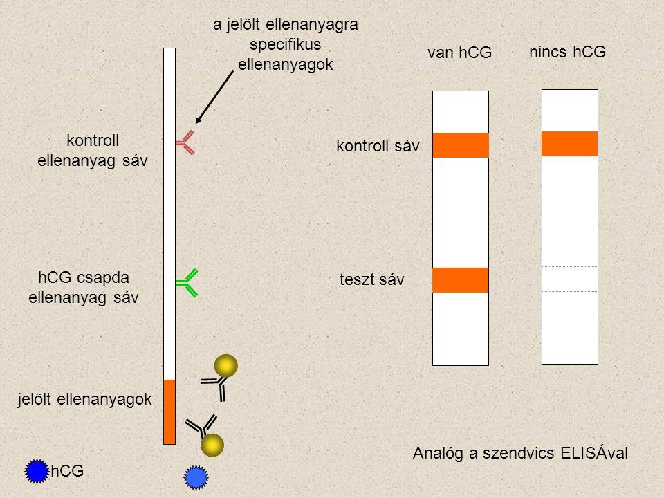 hCG csapda ellenanyag sáv kontroll ellenanyag sáv jelölt ellenanyagok hCG kontroll sáv teszt sáv van hCG nincs hCG a jelölt ellenanyagra specifikus ellenanyagok Analóg a szendvics ELISÁval