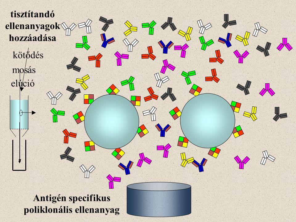 tisztítandó ellenanyagok hozzáadása kötődés elúció mosás Antigén specifikus poliklonális ellenanyag